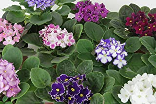 Optimara African Violet Variety Pack (4 Assorted Plants) (4