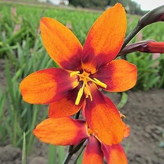 Orange Crocosmia Paul Bunyan   Gorgeous Orange Blooms - Orange Montbretia Bulbs - 5 Large Flower Corms for Planting   Ship...