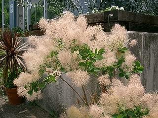 Young Lady Pink Smokebush Tree (cotinus) - Live Plant - Trade Gallon Pot