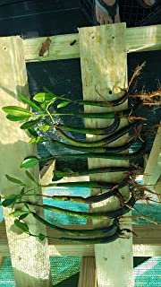 10 RED MANGROVE SEEDLINGS The plants that are pictured are exactly what you will receive, and are only grown by Mangroves and more nursery, not any other seller.