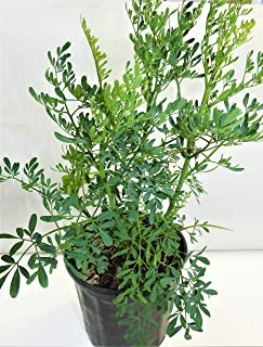 ruda/rue Full Plant with Root