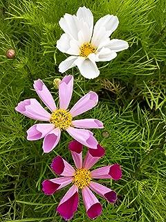 HOT - Flower - Cosmos - Sea Shells Mix - 400 Seeds - Cosmos Bipinnatus