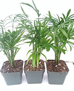 *Three Victorian Parlor Palm Chamaedorea Indestructable 2.5 Pot