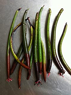 10 Red Mangrove Propagules (Seedpods)