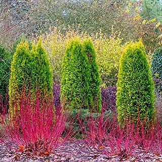Red Twig Dogwood (Cornus) Starter Hedge Kit, Live Bareroot Shrubs, 12 to 18 inches Tall (5-Pack)