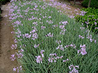 2 Society Garlic (vari.) Live Plants fit 1 Gallon Pot a.k.a Tulbaghia violacea 'Silver Lace' w Free Decorated Poly Bag