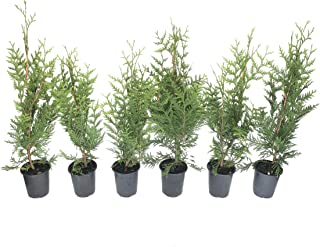 Thuja Plicata 'Green Giant' Arborvitae - 6 Live Quart Size Plants - Live Evergreen Privacy Tree
