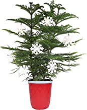 Costa Farms Live Indoor Christmas Tree, 3-Feet Tall, Ships with Red Planter and White Snowflakes, Fresh From Our Farm, Gre...
