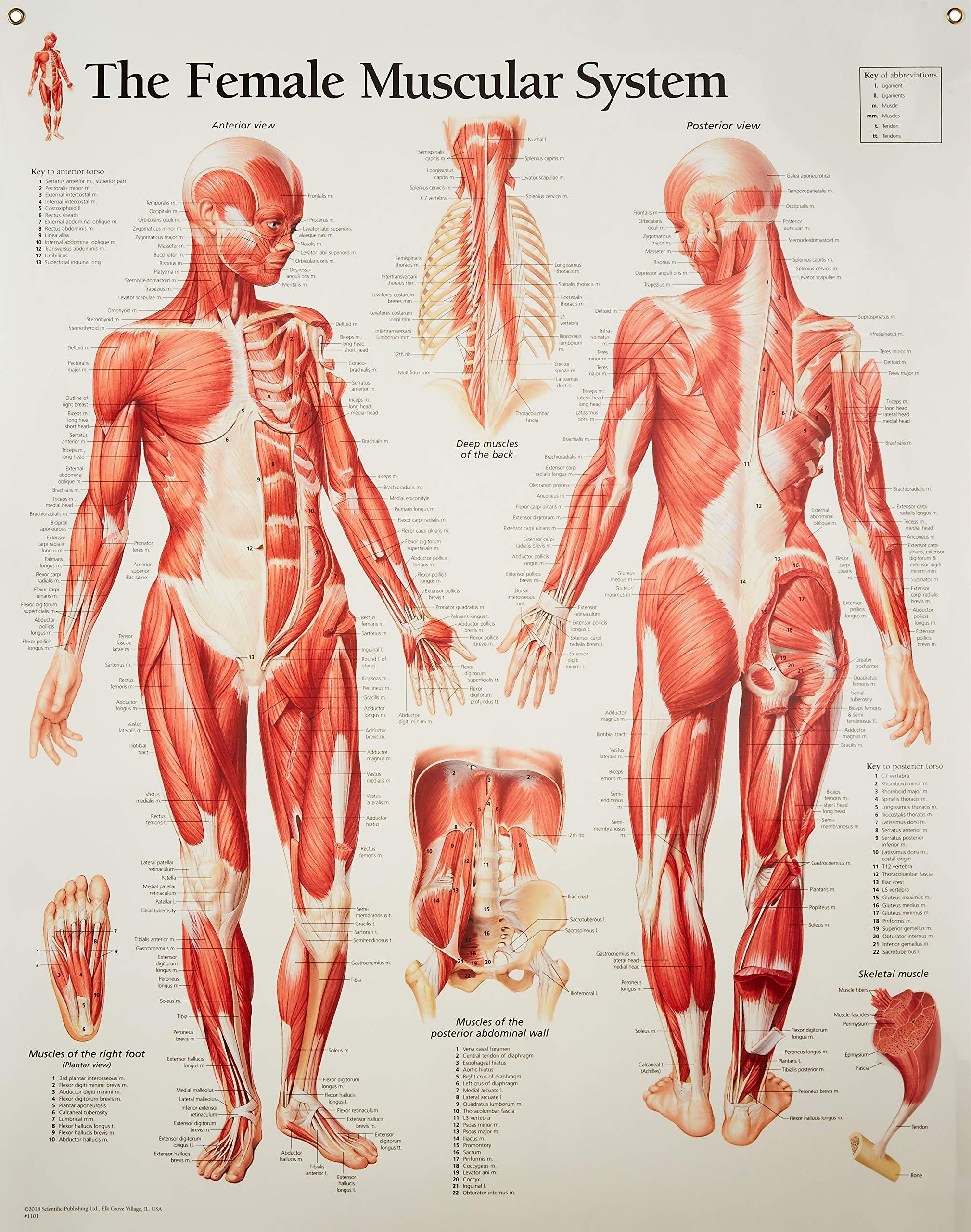 muscle diagram amazon com Diaphragm Diagram Unlabeled