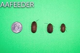 """Dubia Roaches 200 Medium 3/8"""" - 3/4"""""""