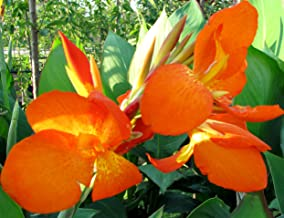 (2) Beautiful Mixed Colors Flowering Canna Lily Fresh Top Size Rhizomes/Bulb/Plant