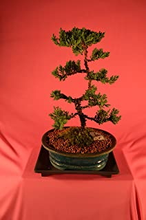 Japanese Juniper, Traditional, Upright Style, 10 Years Old,Free Watering tray.