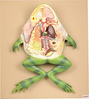 EISCO Plastic Frog Internal Organ Model