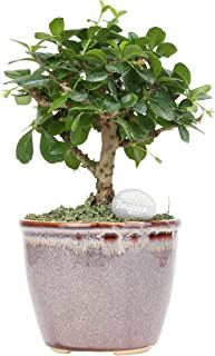 Costa Farms Mini Bonsai Ficus Fukien Tea Live Indoor Tree with Inspirational Message in Mocha Home Décor-Ready Ceramic Planter, Great Gift