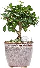Costa Farms Mini Bonsai Ficus Fukien Tea Live Indoor Tree with Inspirational Message in Mocha Home Décor-Ready Ceramic Planter, Great Gift