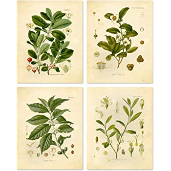 Botanical Prints Vintage Wall Art - Stimulant Psychoactive Herbs – Set of 4 –Coffee, Tea, Coca, Mate – 8x10 Matte Unframed
