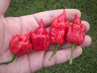 Trinidad Scorpion Butch T 10 Seeds By Pepper Gardeners