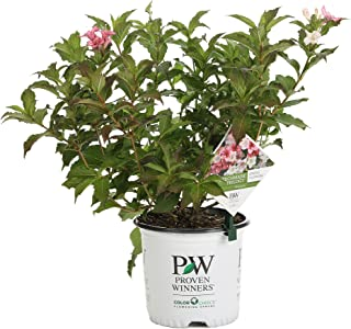 Czechmark Trilogy (Weigela) Live Shrub, White, Pink, and Red Flowers, 1 Gallon
