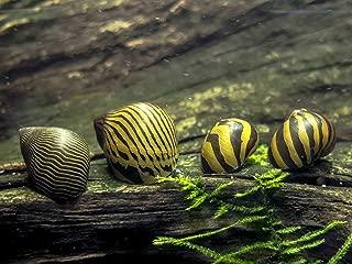 Aquatic Arts 20 Live Zebra Nerite Snails   Algae Scrubber   Nano Aquarium Gravel Cleaner/Filter   Freshwater Invertebrate/Fish Tank Decorations