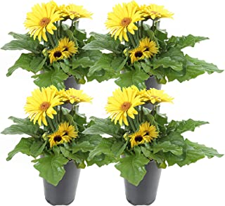 Best yellow gerbera daisy plant Reviews