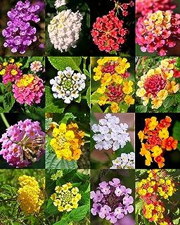 Fresh Mix, Lantana (arbusto de mariposa Verbenas Flores del jardín jamón y huevos semilla) 20 semillas
