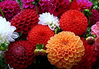 Dahlia Pompon Seeds Flowers Mix Beautiful for Planting Non GMO 20 Seeds