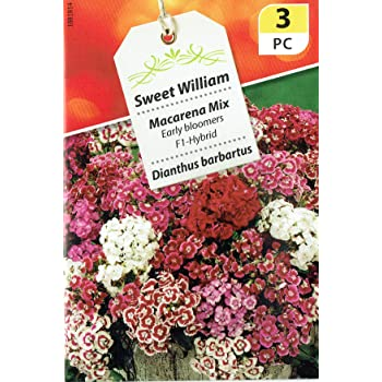 Sweet William Macarena Mix x 150 Seeds Approx