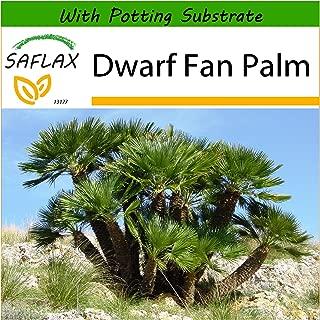 SAFLAX - Dwarf Fan Palm - 10 seeds - With soil - Chamaerops humilis
