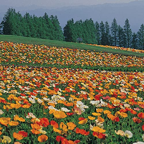 Picture Puzzle: Fields of Flowers