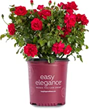 Easy Elegance Roses - Rosa Super Hero (Rose) Rose, red flowers, #2 - Size Container