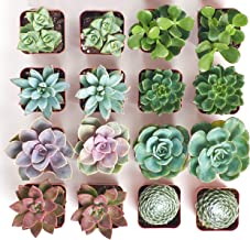 Shop Succulents | Assorted Collection | Variety Set of Hand Selected, Fully Rooted Live Indoor Succulent Plants, 16-Pack