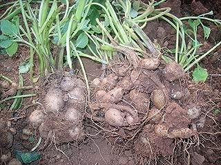 chinese potato plant