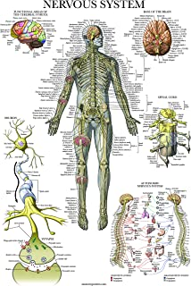 Sponsored Ad - Nervous System Anatomy Poster - Laminated - Autonomic Nervous System & Brain Anatomical Chart - 18