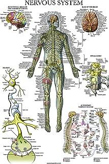 autonomic nervous system chart poster