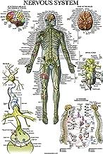Nervous System Anatomy Poster - Laminated - Autonomic Nervous System & Brain Anatomical Chart - 18