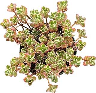Sedum Spurium Succulents Tricolor (4 inch)
