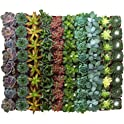 Assorted Collection of 40 Live Succulent Plants