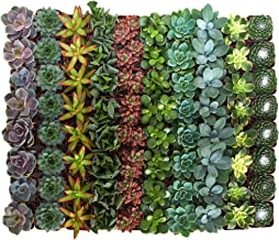 Shop Succulents | Assorted Collection of Live Succulent Plants, Hand Selected Variety Pack of Mini Succulents | Collection of 100