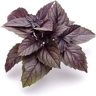150 Dark Opal Purple Basil Seeds by RDR Seeds