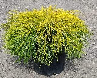 Gold Mop Cypress - Dwarf Golden Evergreen Shrub - 3 Gallon Size