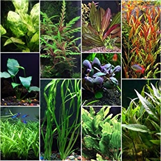 cardinal plant aquarium care