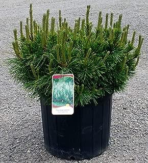 Mugo Pine - Swiss Mountain Pine - Dwarf Evergreen Tree - 3 Gallon Pot