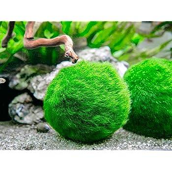 Aquatic Arts 3 Betta Fish Balls - Live Marimo Aquarium Plants for Fish Tanks - Natural Toy Accessories for Betta Fish, Green
