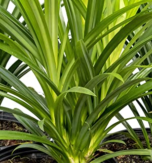 Fragrant Spice Pandan Size Small 10 to 14 NCHES Tall Live Plant, Pandanus amaryllifolius, La Dua, See Our Guarantee Below Before Ordering