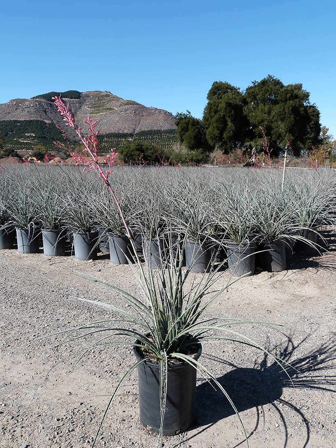 Red Yucca Aka Hesperaloe Parviflora Live Popularity Limited time sale 01 Fit Plant Succulent