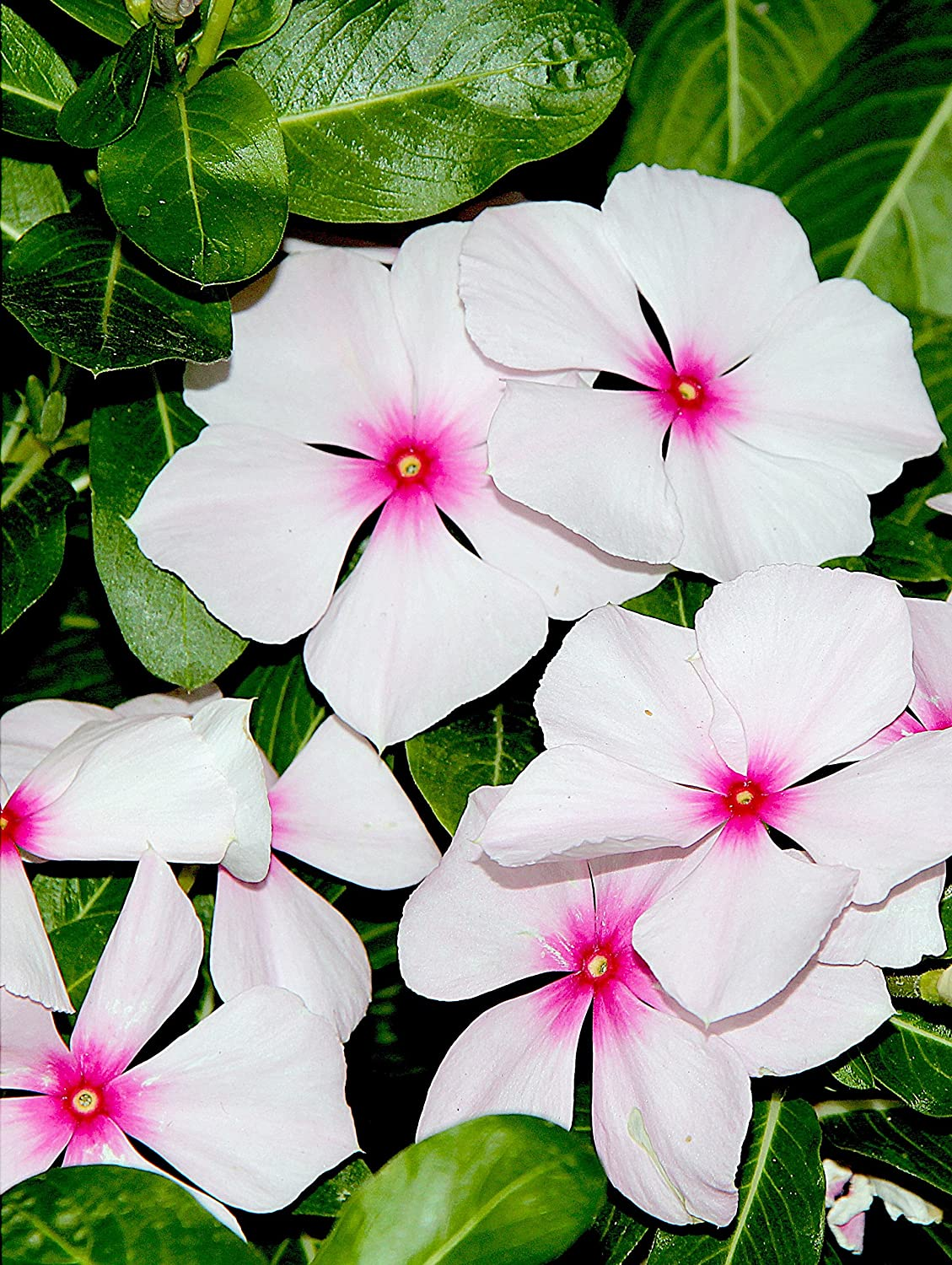 100 BRIGHT EYES PERIWINKLE At the price of surprise Vinca Flower Sale Special Price White Dwarf Rosea Pink