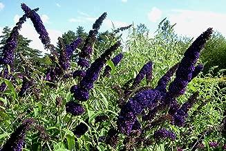 Live Butterfly Bush (dk purp) aka Buddleia dav. 'Black Knight' Plant Fit 1 Gallon Pot