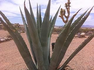 Agave Americana Blue Century Plant - Small (Live Bareroot Plant)