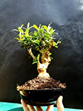 Olive Tree - Bonsai - Approximately 20 Years Old