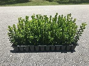 Winter Gem Boxwood Qty 15 Live Plants Evergreen Formal Hedge